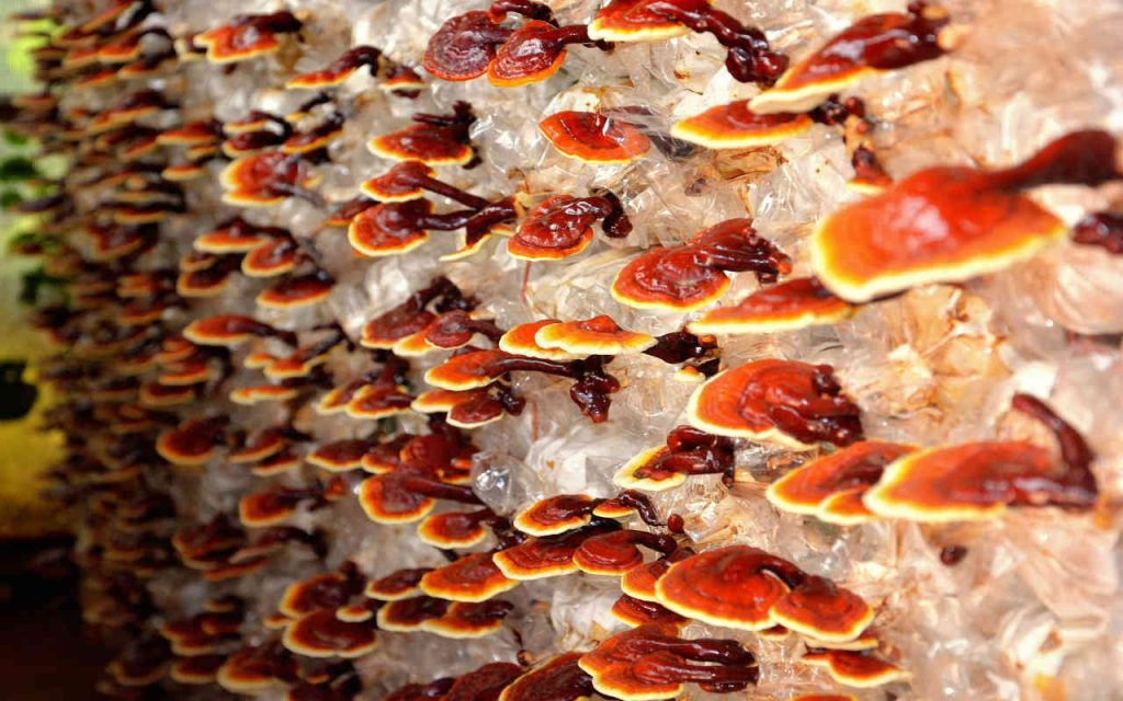 ganoderma-benefici-proprietà