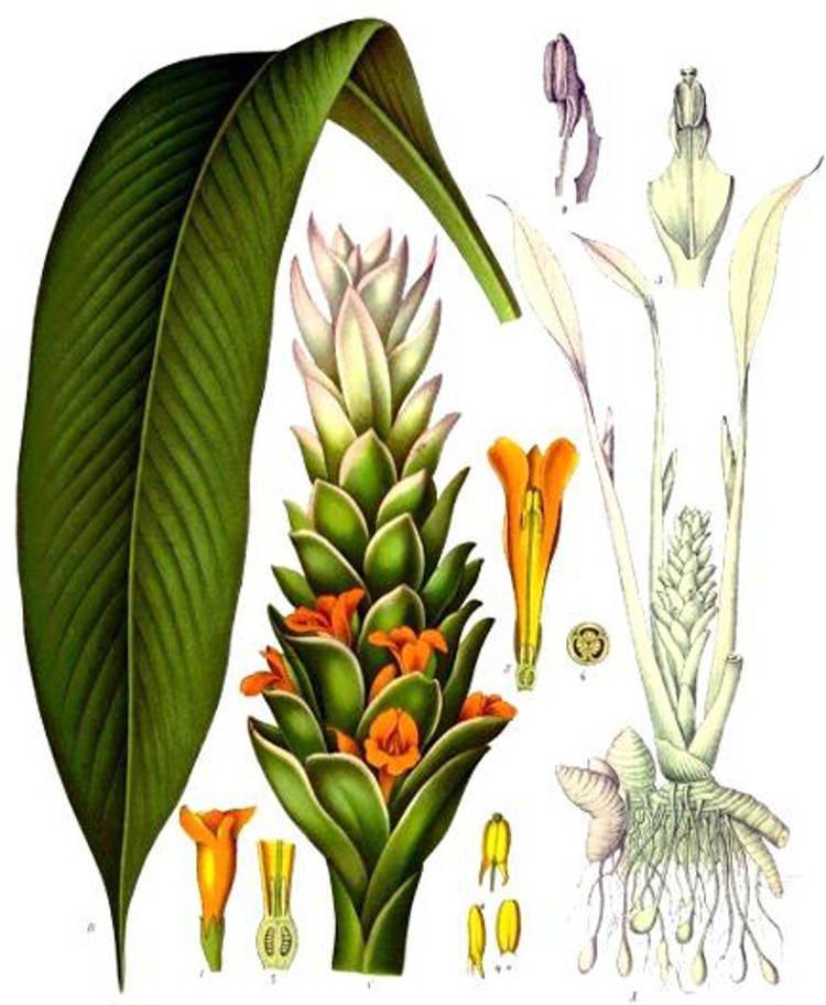 fertilizzare la pianta della curcuma