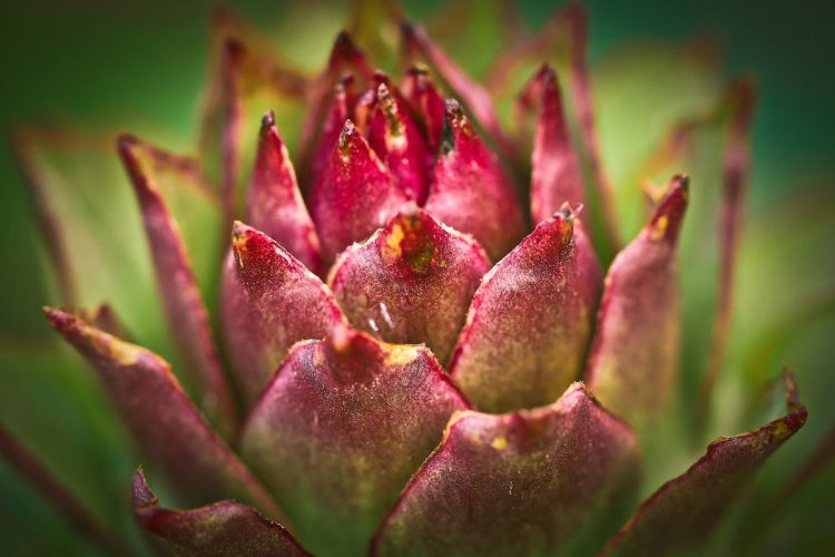 la pianta della curcuma